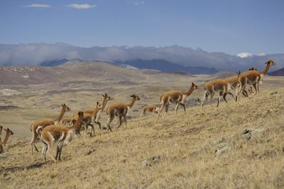 Wild Vicuna Run from Quechua Herders, During the Gran Chaccu, a Yearly Vicuna Round Up