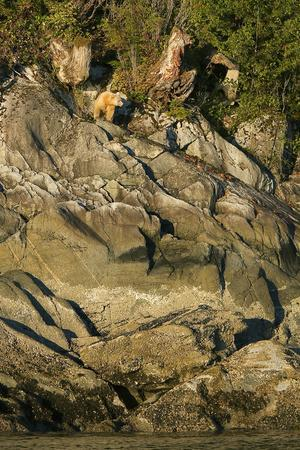 A Spirit or Kermode Bear on Rocks Above the Inter-Tidal Zone