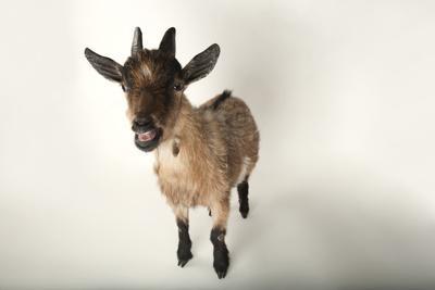 A Pygmy Goat, Capra Aegagrus Hircus, at the Lincoln Children's Zoo