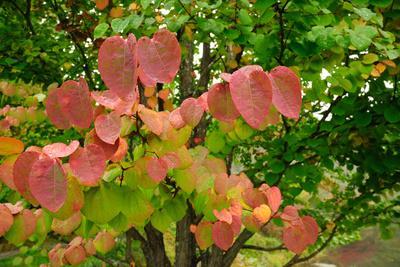 A Redbud Tree with Fall Foliage in the Asticou Azalea Gardens
