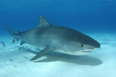 A Remora and Other Small Fish Swimming with a Tiger Shark, Galeocerdo Cuvier