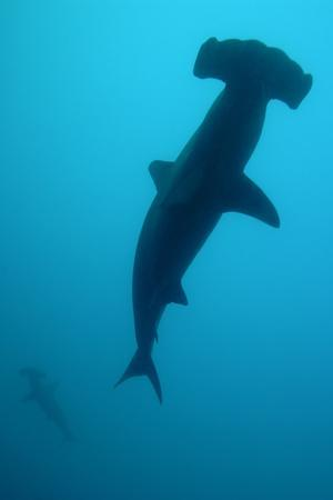 A Silhouetted Scalloped Hammerhead Shark, Sphyrna Lewini, Swimming
