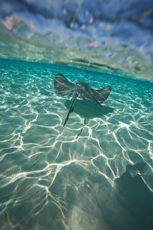 A Stingray Swims over a Series of Shallow Sandbars Off the Cayman Islands