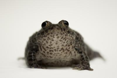 A Federally Endangered Dusky Gopher Frog, Rana Sevosa