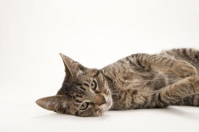 A Studio Portrait of a Brown Tabby Cat Named Downtown