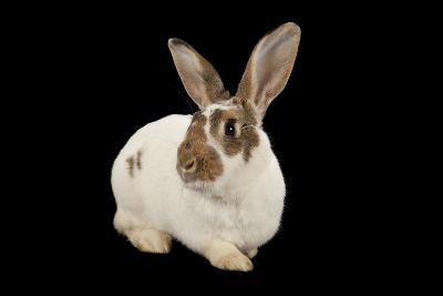 A Studio Portrait of a Rex Rabbit