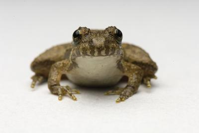 Close Up Portrait of a Northern Cricket Frog