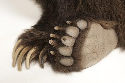 The Paws of a Grizzly Bear, Ursus Arctos Horribilis