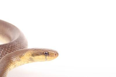 Close Up Portrait of an Aesculapian Snake