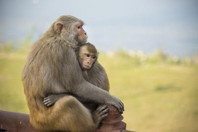 Monkeys Cuddling at the Taj Mahal