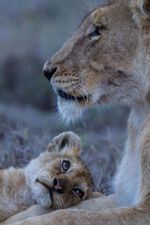 A Lion Cub Looks Up at its Mother