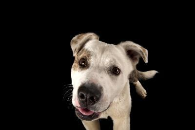 A Studio Portrait of Brewster, an Akita Pitbull Mix