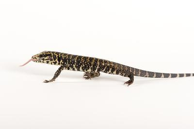 Argentine Black and White Tegu, Tupinambis Teguixin
