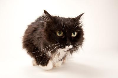 A Studio Portrait of a Domestic House Cat