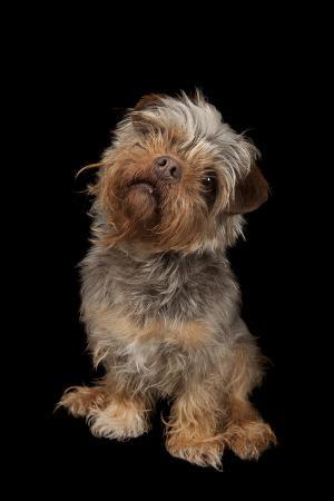 A Studio Portrait of Tasha, a Terrier Mix
