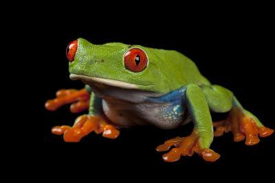 Red Eyed Tree Frog, Agalychnis Callidryas