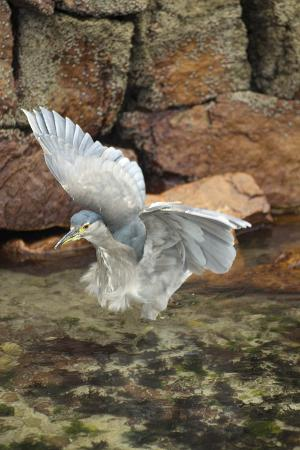 A Young Black-Crowned Night Heron Flies from a Rock
