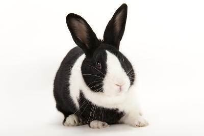 A Studio Portrait of a Domestic Rabbit