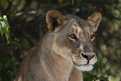Close Up Portrait of a Sub-Adult Lioness, Panthera Leo