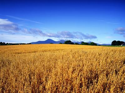 A Barley Field at Harvest Time in Seaford, Mournes