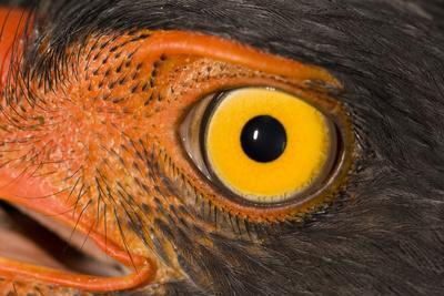 A Slate Colored Hawk, Leucopternis Schistaceus