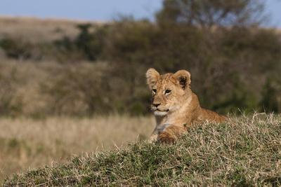 A Lion Cub, Panthera Leo, Resting on a Termite Mound