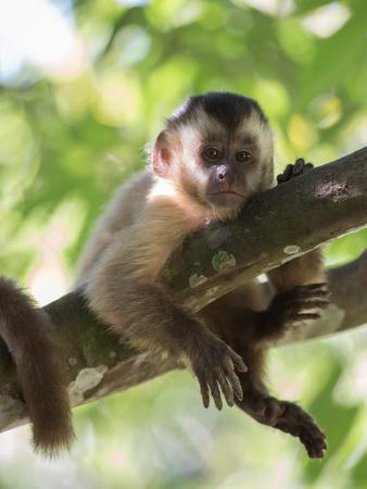A Young Black Capped Capuchin Monkey Rests on a Tree
