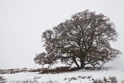 An Oak Tree in Snow and Fog in Devon, England