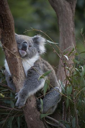 A Federally Threatened Koala at a Wildlife Sanctuary