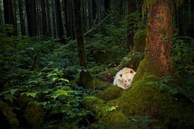 A Spirit or Kermode Bear Asleep on a Bed of Moss