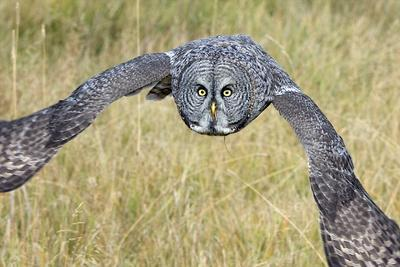 A Great Gray Owl Looks for Where it Wants to Fly Next