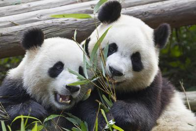 Two Giant Pandas at the Panda Research Center