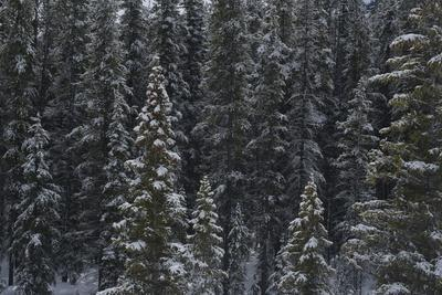 Evergreen Trees after a Snowstorm