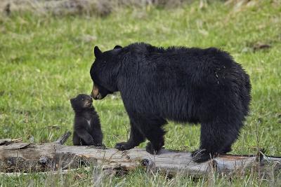 Black Bear (Ursus Americanus) Sow and Cub of the Year