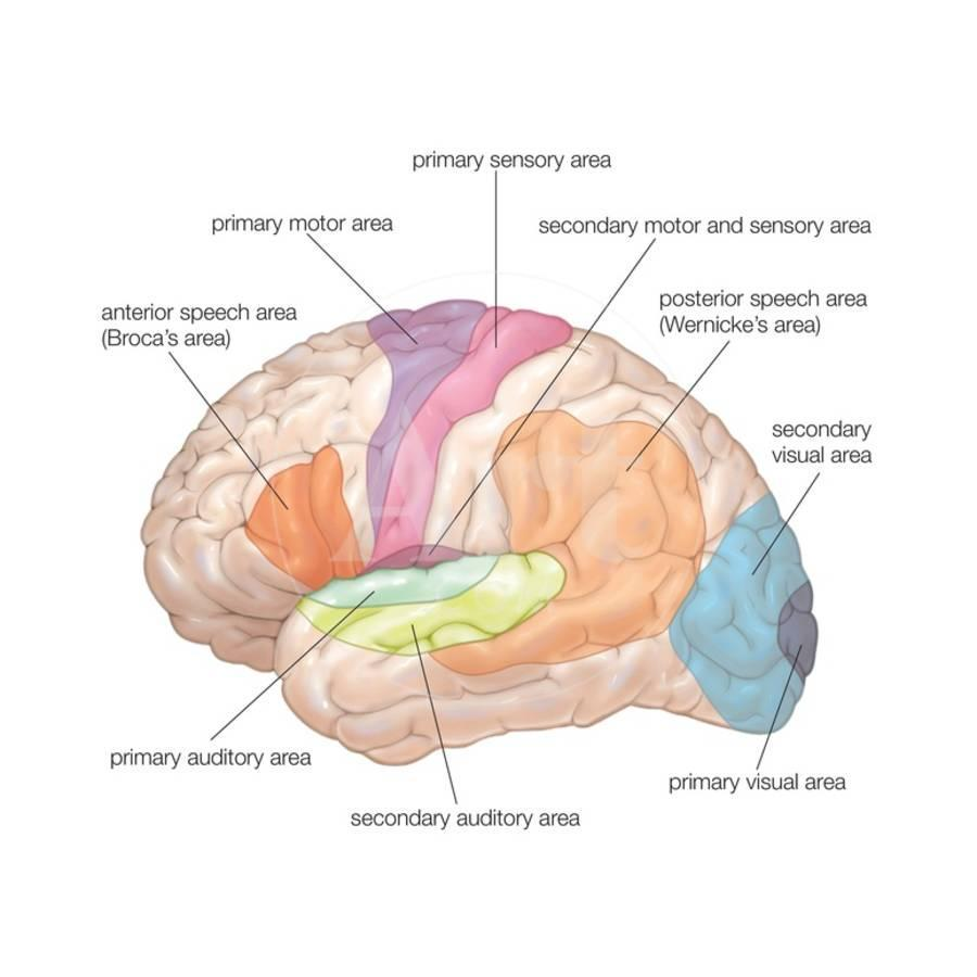 Diagram Of The Lateral View Of The Human Brain Showing The
