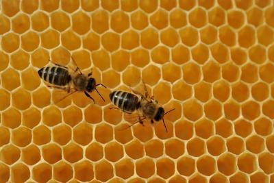A Honeycomb Is a Mass of Hexagonal Wax Cells Built by Honey Bees in their Nests