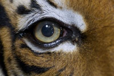 The Right Eye of a Malaysian Tiger