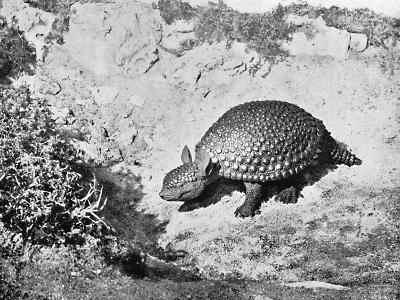 A Glyptodon, 20th Century
