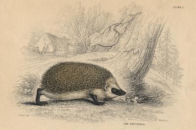 Hedgehog (Erinaceus Europea), 1828