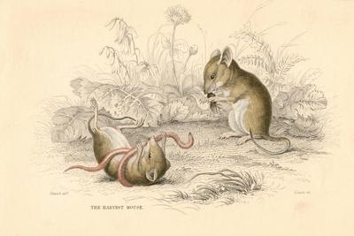 Harvest Mouse (Micromys Minutu) of the Old World, 1828