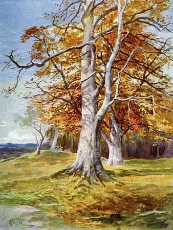 Beech Tree, Autumn, 1900