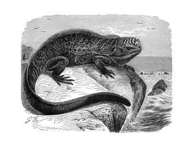Iguana, the Great Herbivorous Sea Lizard of the Galapagos Islands