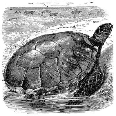 Green Turtle (Chelone Myda), C1890