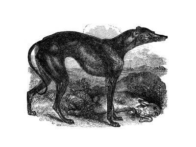Greyhound, 1848