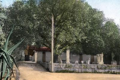 Terebinth Tree, Hammam Meskoutine, Algeria