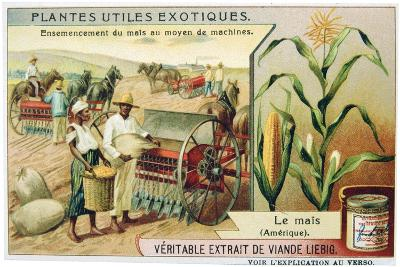 Maize, C1900