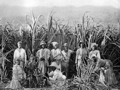 Sugar Cane Cutters, Jamaica, C1905