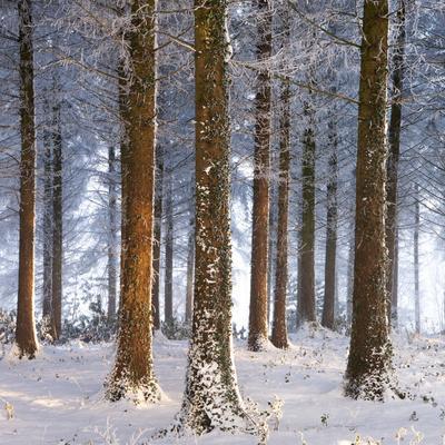 Snow Covered Pine Woodland, Morchard Wood, Morchard Bishop, Devon, England. Winter