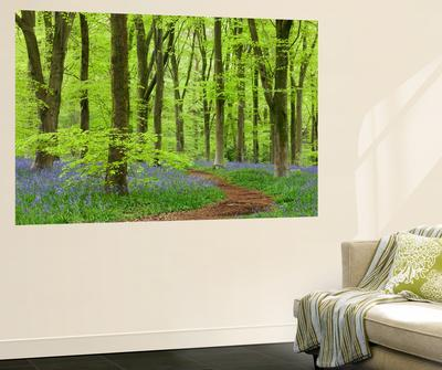 Bluebell Carpet in a Beech Woodland, West Woods, Wiltshire, England. Spring