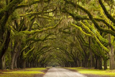 USA, Georgia, Savannah, Oak Lined Drive at Wormsloe Plantation